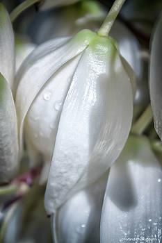 Yucca Flowers  by Debra Forand