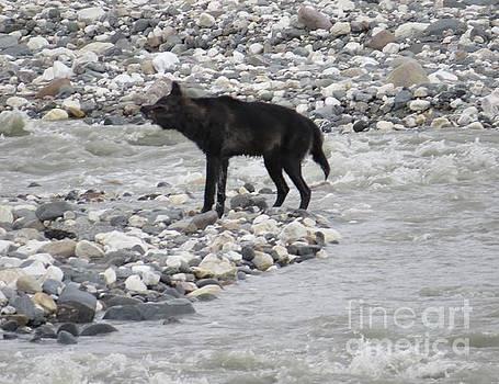 Harriet Peck Taylor - Yukon Wolf