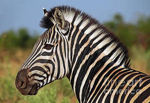Zebra, Africa wildlife by Wibke W