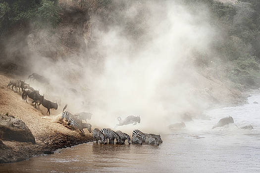 Zebra and Wildebeest Migration in Africa by Susan Schmitz