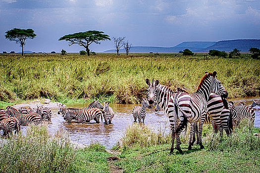Zebra at the Watering Hole by Janis Knight