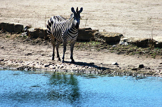 Zebra at the watering hole by Steve Karol