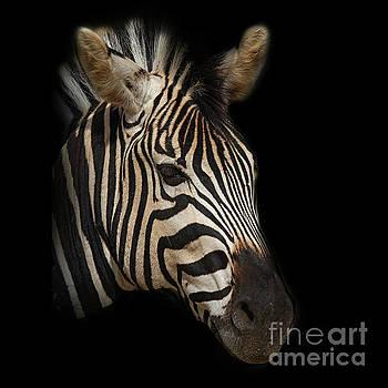Zebra by Barbara Dudzinska