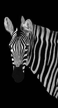 Zebra Beauty Portrait by Kay Kochenderfer