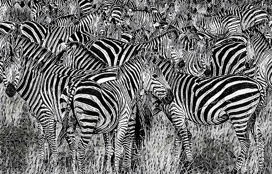 Zebra - Black and White by Russ Harris