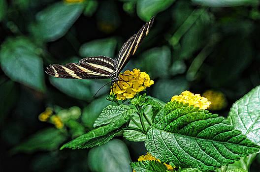 LAWRENCE CHRISTOPHER - Zebra butterfly 1