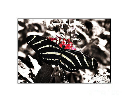 Zebra Butterfly by Julie McCullough