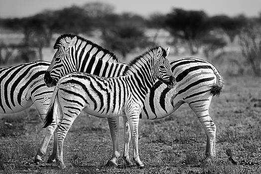 Zebra Family in Ethoasha National Park Namibia by Martin Wackenhut