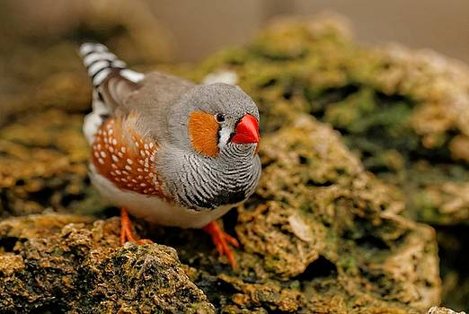 Zebra Finch on the Rocks by Hui Sim