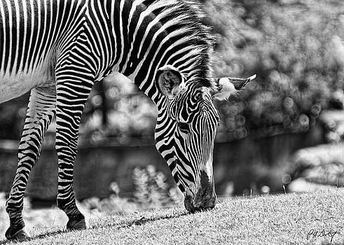 Zebra Grazing by Phill Doherty