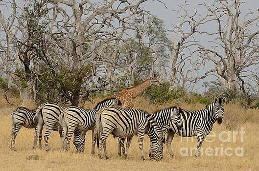 Zebra Group With Giraffe Tom Wurl by Tom Wurl