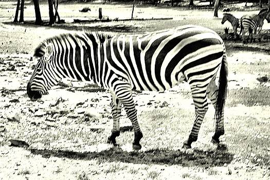 Zebra in Black and White by James Potts