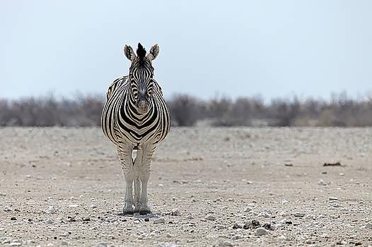 Zebra in Etosha National Park Namibia by Martin Wackenhut