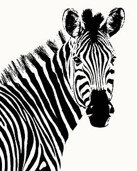 Zebra in Graphic Black and White by Scotch Macaskill