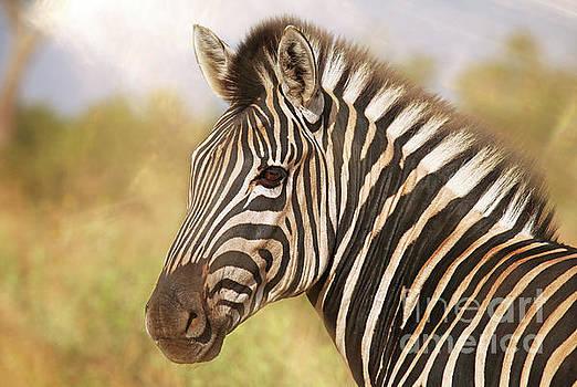 Zebra in the sun, Africa by Wibke W
