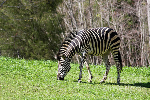 Jill Lang - Zebra