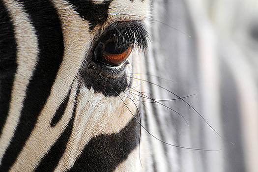 Zebra ... Lashes by Stephie Butler