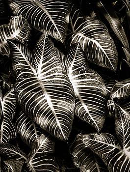 Zebra Leaves by Wim Lanclus