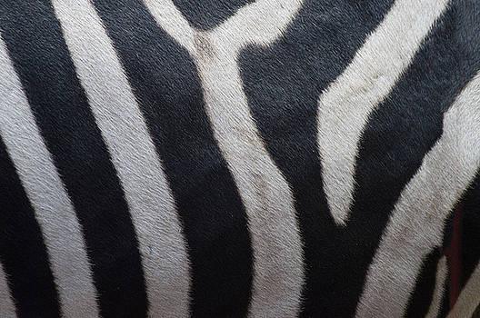 Zebra by Linda Geiger