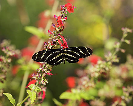 Rosemary Woods-Desert Rose Images - Zebra Longwing butterfly-IMG_674618