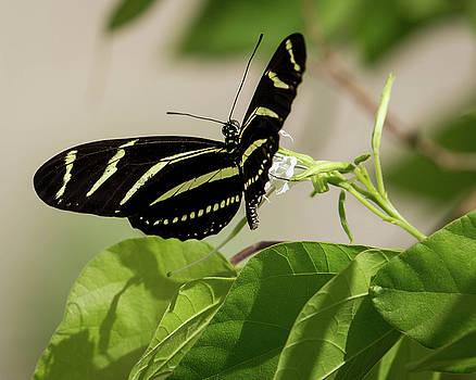 Rosemary Woods-Desert Rose Images - Zebra Longwing butterfly-IMG_764917