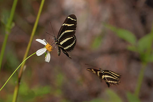 Paul Rebmann - Zebra Longwings