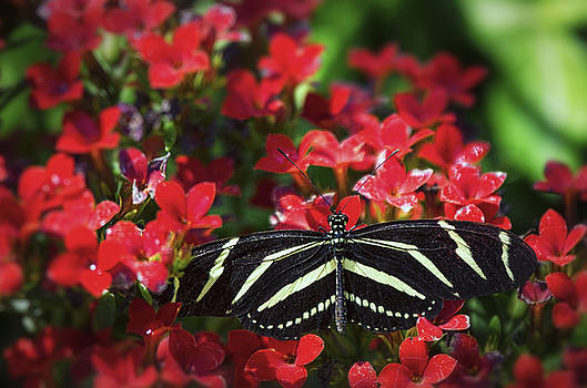 Saija  Lehtonen - Zebra Lonwing Butterfly on Little Red Flowers