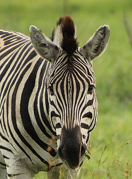 Zebra Looking At You by Denise Dean