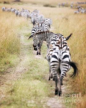 Zebra migration in  the Masai Mara by Jane Rix