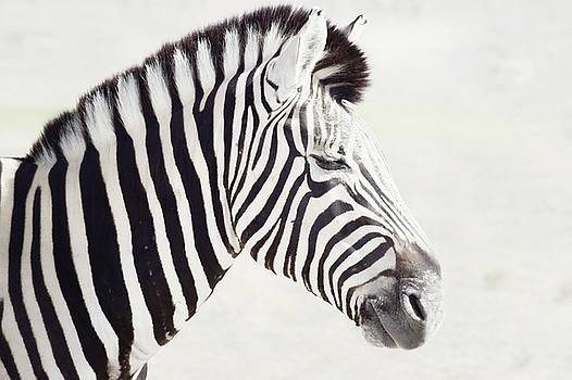 Zebra Portrait 1 by Jaqueline Briel