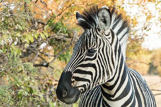 Zebra Portrait by Petrus Bester