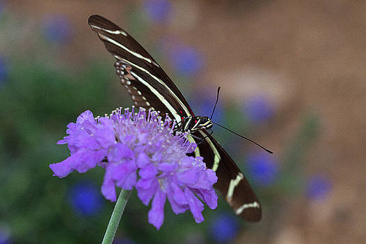 Zebra rests on purple by Ruth Jolly