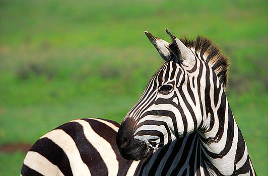 Sebastian Musial - Zebra