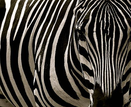 Zebra Up Close by Caroline Reyes-Loughrey