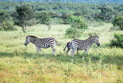 Compuinfoto - zebra wild animals