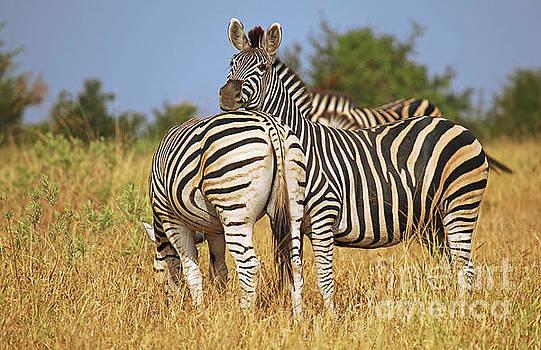 Zebra world, South Africa by Wibke W