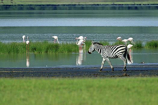 Zebras and Flamingos by Ann Sullivan