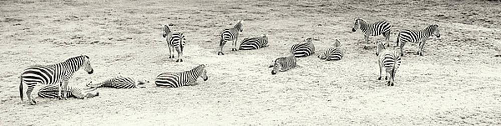 Stewart Scott - Zebras baskin
