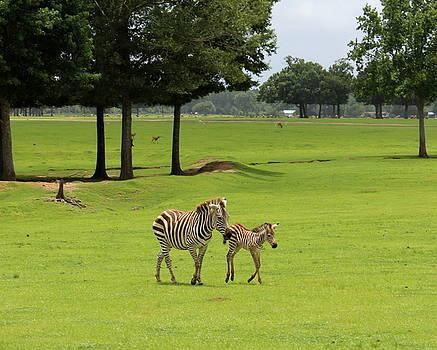 Zebras by Beth Vincent