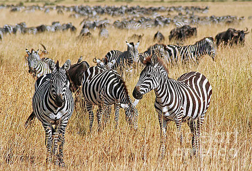 Zebras, East Africa, wildlife by Wibke W