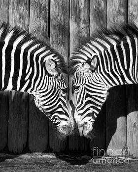 Zebras Face to Face by Loriannah Hespe