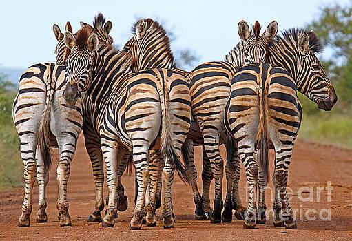 Zebras in Africa, wildlife by Wibke W