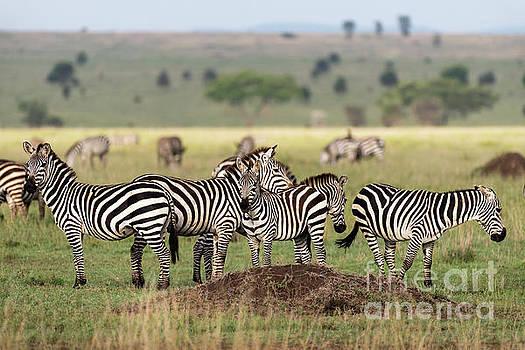 RicardMN Photography - Zebras in Serengeti savannah