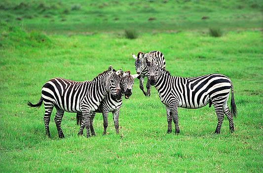 Sebastian Musial - Zebras