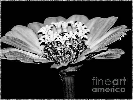 Zinnia Flower Black and White Fine Art Photography by Carol F Austin