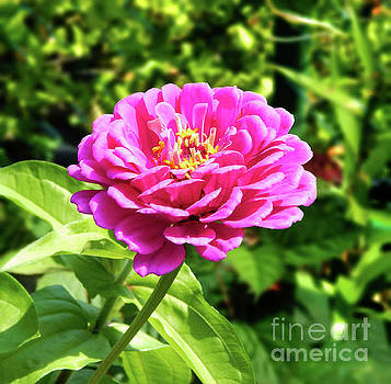 Zinnia Flower Pink Tones by Dave Nevue