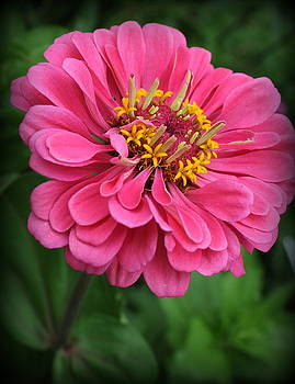 Zinnia Lovely in Pink by Dora Sofia Caputo Photographic Design and Fine Art