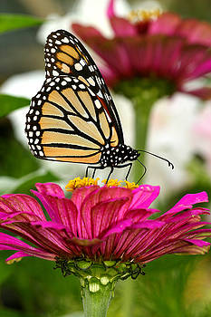 Zinnia Rose and Monarch by Steve Augustin