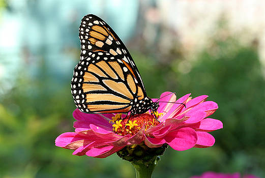 Zinnia with the Monarch by Steve Augustin
