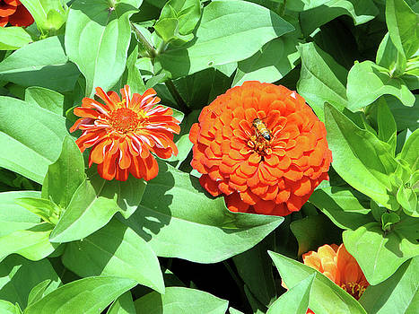 Zinnias and the Bee by Usha Shantharam